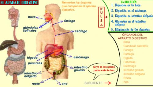 Del sistema digestivo para niños - Imagui