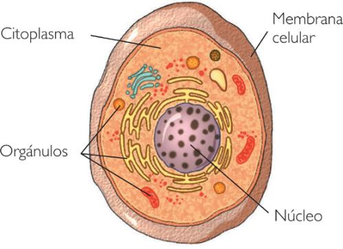 Resultado de imagen de partes da celula 1eso