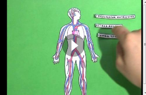Circuito Circulatorio : Sistema circulatorio jugando y aprendiendo