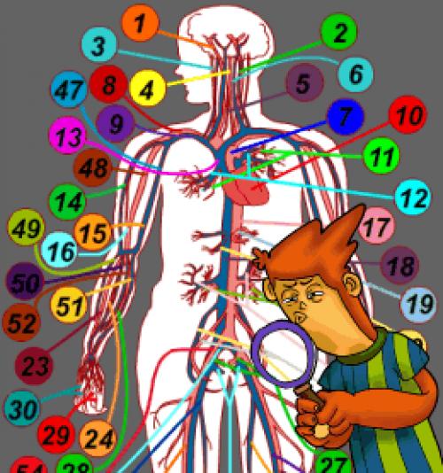 Del Sistema Circulatorio Para Niños Del Sistema Circulatorio
